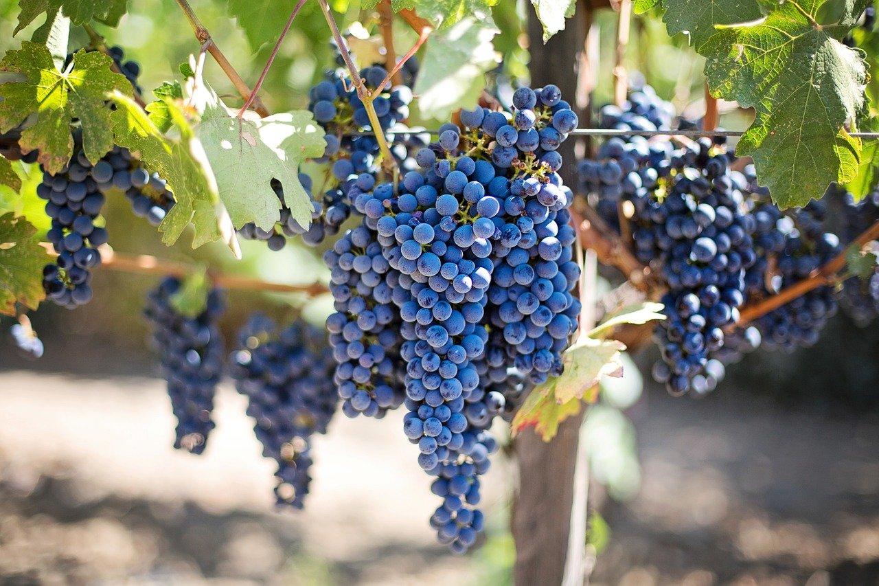 Gruzja krajem pierwotnym wina?